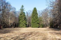 Forêt verte de deux arbres au printemps. Photos stock