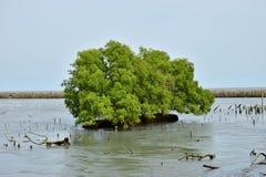 Forêt verte de palétuvier de mer d'arbre Photo stock