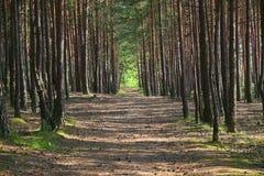 Forêt verte de pin Photographie stock