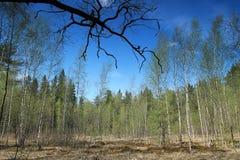 Forêt verte de ressort dans des rayons du soleil Photo libre de droits