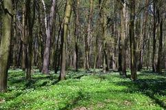 Forêt verte de ressort dans des rayons du soleil Images libres de droits