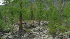 Forêt verte de sapin sur des pins de mousse et de roches, sapin intact, s'élevant en montagnes Nature sauvage de la Sibérie, été banque de vidéos
