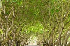 Forêt verte de tunnel avec la manière de chemin Photographie stock