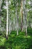 Forêt verte de verger de bouleau à l'heure d'été image stock