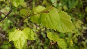 Forêt verte et fraîche de fond naturel de Tilia de tilleul de limettier de feuilles au printemps Appareil-photo statique Vidéo de clips vidéos