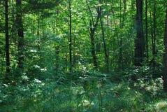 Forêt verte luxuriante ensoleillée Photographie stock libre de droits