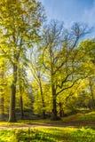 Forêts avec les arbres de hêtre mûrs mûrs et limettier dans le domaine Groenendaal de mère patrie Image libre de droits