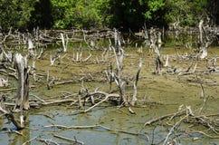 Forêts dégradées de palétuvier Photos stock