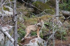 Forêts de jardind'umava du loup Å Image libre de droits