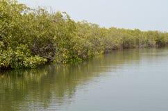 Forêts de palétuvier dans la région de delta de rivière de Saloum, Sénégal, Afrique de l'ouest Photo libre de droits