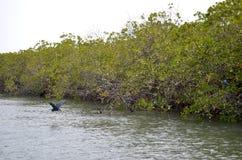 Forêts de palétuvier dans la région de delta de rivière de Saloum, Sénégal, Afrique de l'ouest Photographie stock