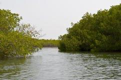 Forêts de palétuvier dans la région de delta de rivière de Saloum, Sénégal, Afrique de l'ouest Image libre de droits