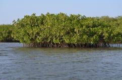 Forêts de palétuvier dans la région de delta de rivière de Saloum, Sénégal, Afrique de l'ouest Image stock