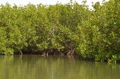 Forêts de palétuvier dans la région de delta de rivière de Saloum, Sénégal, Afrique de l'ouest Images stock