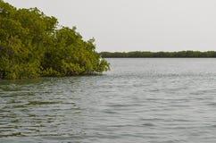 Forêts de palétuvier dans la région de delta de rivière de Saloum, Sénégal, Afrique de l'ouest Photo stock