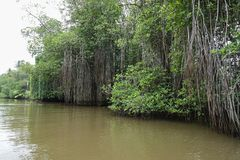 Forêts de palétuvier le long de la rivière Photos stock