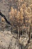 Forêts de patrimoine mondial de la Madère terriblement détruites par des incendies en 2016 Certains d'arbres ont l'énorme volonté Images libres de droits