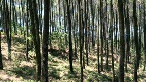 Forêts de pin banque de vidéos