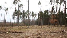 Forêts impeccables infestées et attaquées par typographus impeccable européen d'IPS de parasite de scarabée d'écorce, calamité dé banque de vidéos