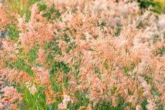 Fora da imagem, do borrão e de macio do foco a grama cor-de-rosa da flor com sol Foto de Stock