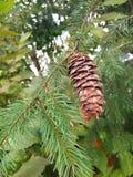 Fora pinecone fotografia de stock royalty free
