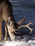 Forage. Young buck foraging for food during a hard winter royalty free stock photos