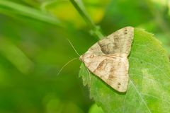 Forage Looper Moth - Caenurgina erechtea. Forage Looper Moth resting on a leaf. Also known as a Common Grass Moth. Todmorden Mills Park, Toronto, Ontario, Canada royalty free stock photos