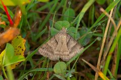 Forage Looper Moth - Caenurgina erechtea. Forage Looper Moth perched on the ground in the dew covered grass. Ashbridges Bay Park, Toronto, Ontario, Canada stock image