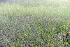 Forage plantation with seed Royalty Free Stock Photo