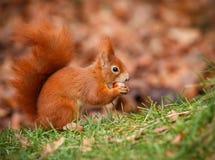 Forager d'écureuil rouge photographie stock