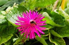 Forager de fleur et d'abeille de ressort Photos libres de droits