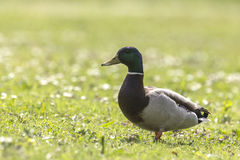 Forager de Mallard ou de canard sauvage (platyrhynchos d'ana) Photos libres de droits