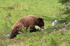 Forager juvénile d'ours noir Photo libre de droits