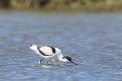 Forager pie d'avosetta de Recurvirostra d'avocette photo stock