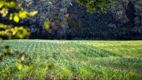 Foraggiamento dei cervi sul raccolto in un campo agricolo Fotografie Stock