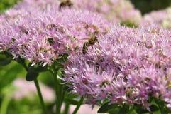 Foraggiamento dell'ape su Hylotelephium spectabile Fotografia Stock Libera da Diritti