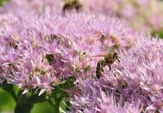 Foraggiamento dell'ape su Hylotelephium spectabile Fotografie Stock Libere da Diritti