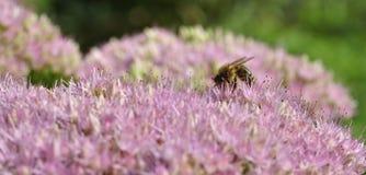 Foraggiamento dell'ape su Hylotelephium spectabile Immagine Stock Libera da Diritti