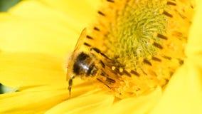Foraggiamento dell'ape su un girasole durante il bello pomeriggio di fine dell'estate video d archivio
