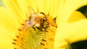 Foraggiamento dell'ape su un girasole durante il bello pomeriggio di fine dell'estate stock footage