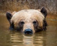 Foraggiamento dell'orso di Grizzley per l'alimento Fotografie Stock
