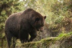Foraggiamento dell'orso di Grizzley per l'alimento Immagini Stock