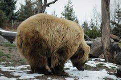 Foraggiamento dell'orso di Grizzley per l'alimento immagine stock