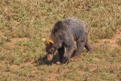 Foraggiamento dell'orso di Grizzley per l'alimento fotografie stock libere da diritti