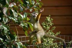 Foraggiamento della scimmia di ragno Fotografia Stock Libera da Diritti