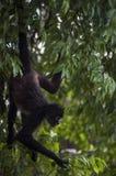 Foraggiamento della scimmia di ragno nel parco nazionale di Tikal, Guatemala Fotografia Stock Libera da Diritti