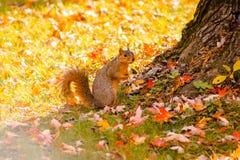 Foraggiamento dello scoiattolo per l'alimento nel parco della riva del fiume fotografie stock