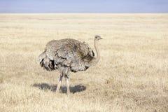 Foraggiamento femminile dello struzzo (struthio camelus) immagine stock