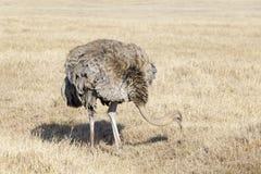 Foraggiamento femminile dello struzzo (struthio camelus) fotografia stock