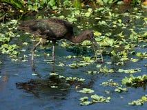 Foraggiamento lucido dell'ibis Fotografia Stock Libera da Diritti